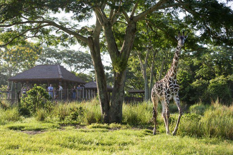 giraffe animal kingdom